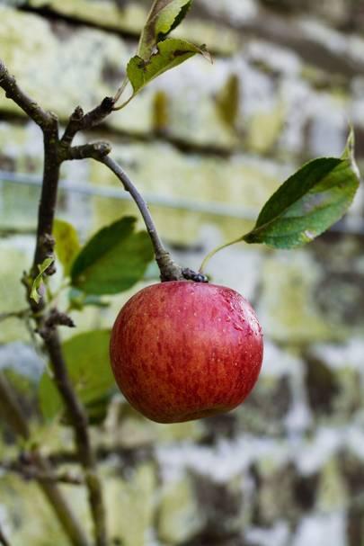 Worcester Pearmain | Tom Hoblyn's Garden