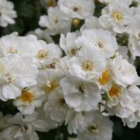 Rambling Rector| Gardeners' favourite roses | Garden Design Ideas