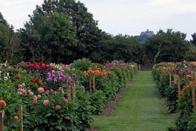 How To Plant And Grow Dahlia Tubers House Garden