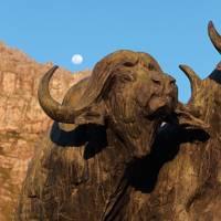Buffalo Bull Pair