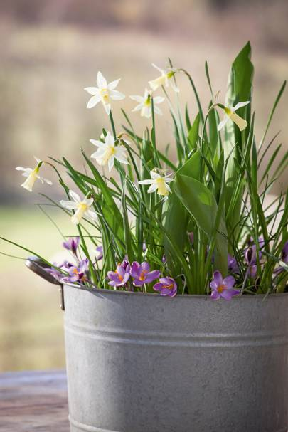White Narcissus 'Elka' with purple Crocus Chrysanthus 'Spring Beauty'