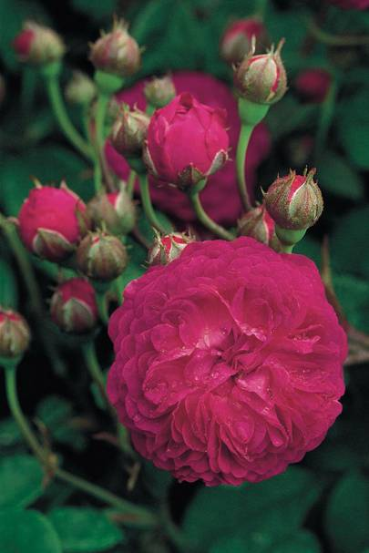 Cardinal de Richelieu rose