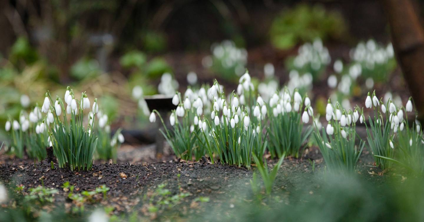 Our favourite places to see snowdrops in the UK