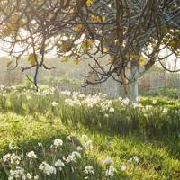 Narcissi under the trees