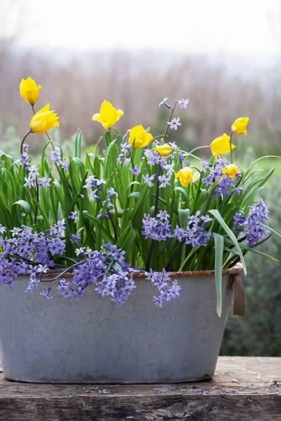 Tulipa sylvestris with hyacinth 'Anastasia'