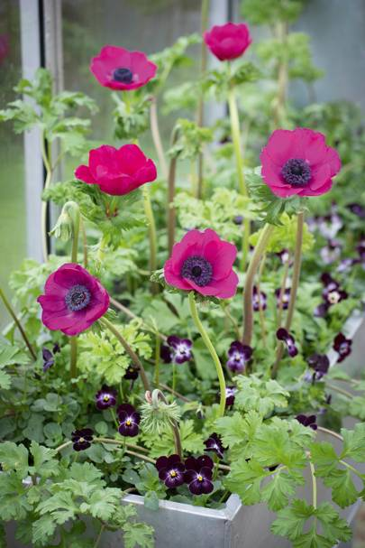 Anenome coronaria 'Jerusalem Pink' with Viola Cornuta 'Sorbet Phantom'
