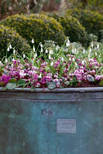 White galanthus nivalis 'Sam Arnott' with pink cyclamen coum