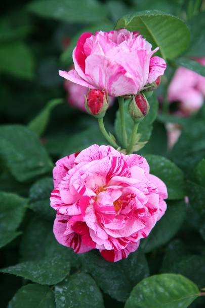 Ferdinand Pichard rose