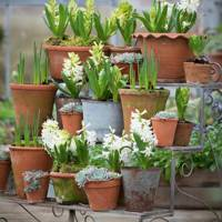 Hyacinth 'White Pearl' with echevarias