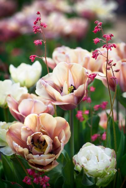 Tulips 'La Belle Epoque' and 'Danceline' with Heuchera Sanguinea