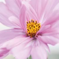 Cosmos bipinnatus 'Fizzy Pink'
