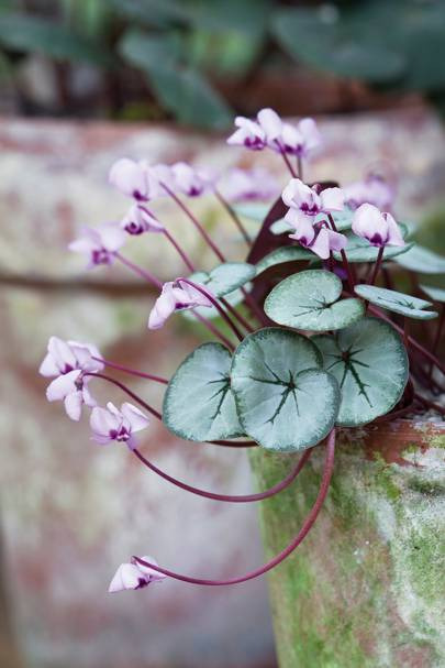 A silver-leaved form of cyclamen coum