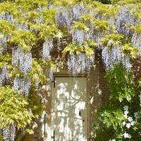 Cover the walls in wisteria