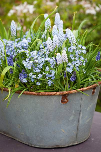 Forget-me-nots with Muscari 'Baby's Breath'