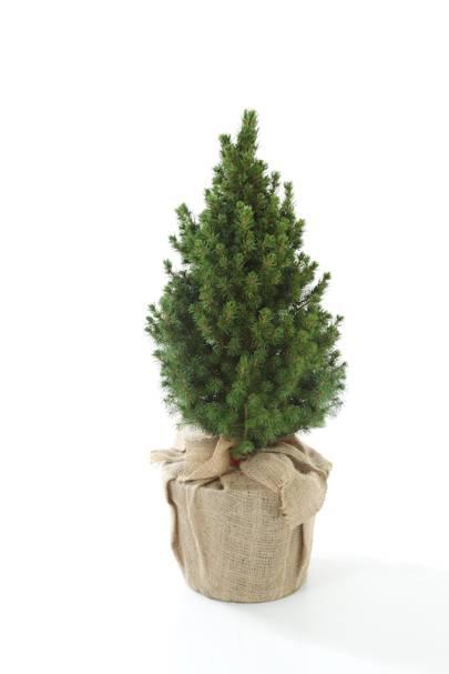Mini Living Christmas Tree