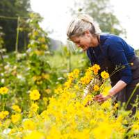 Picking Cosmos - An English Flower Garden