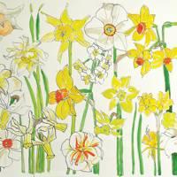 Daffodil drawings