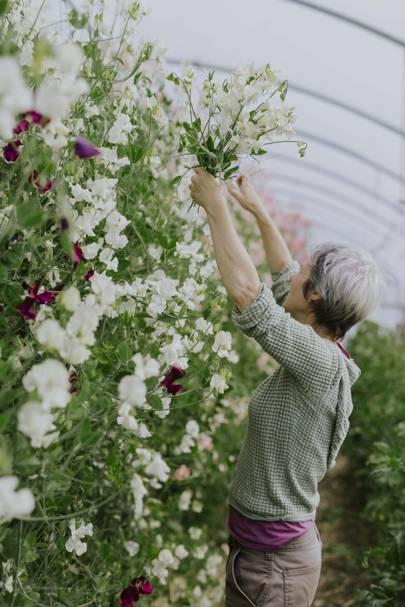 How To Grow Sweet Peas House Garden