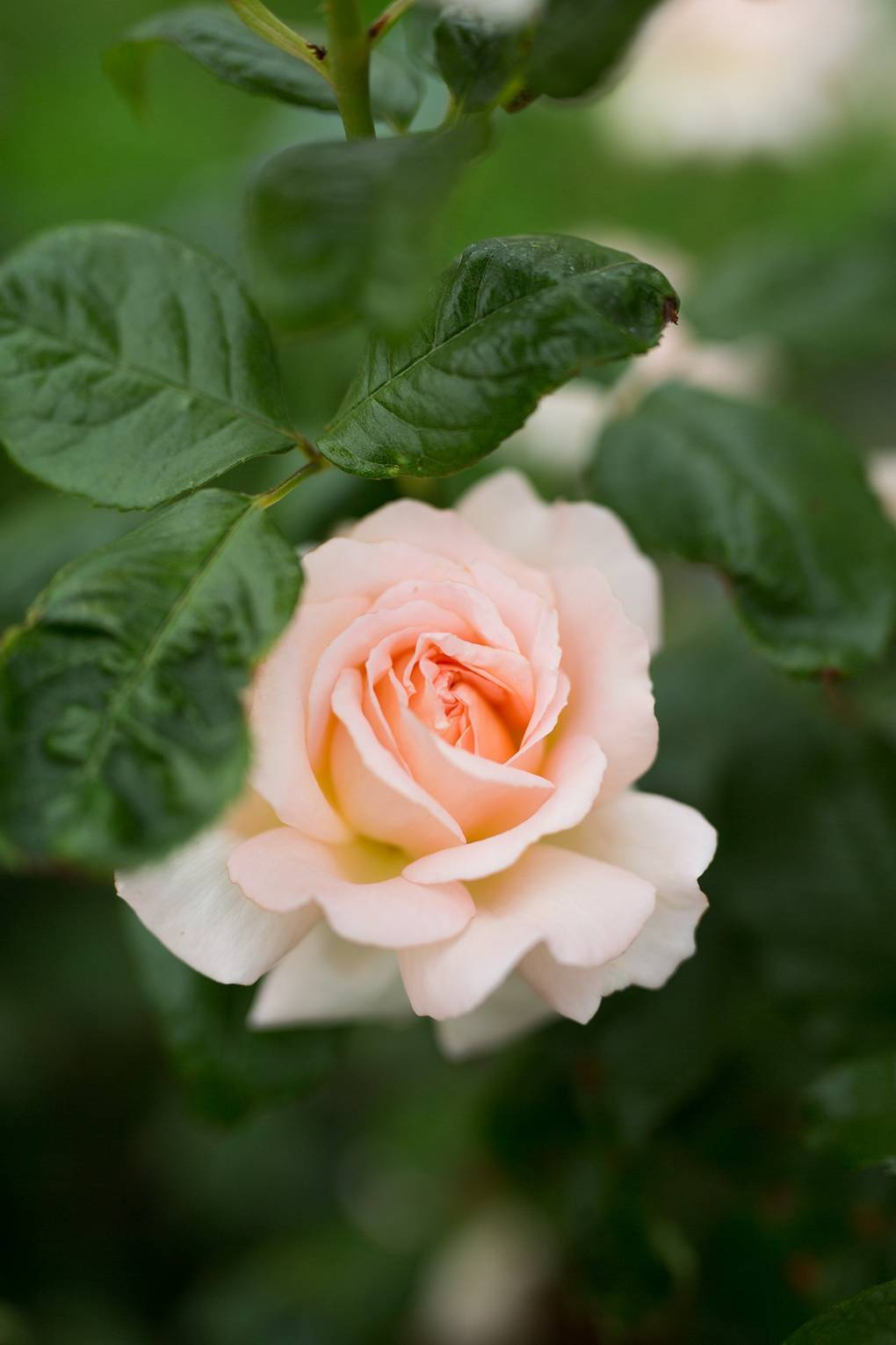 Growing Cut Flowers Part 3 Coming Up Roses House Garden