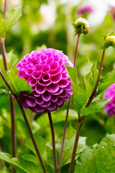 Pink Dahlia - An English Flower Garden