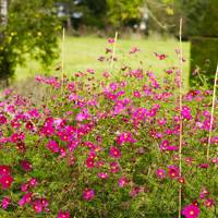 Pink Cosmos - An English Flower Garden
