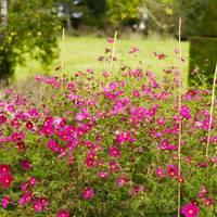 Pink Cosmos - An English Flower Garden