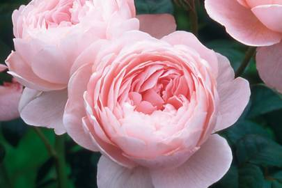 Queen of Sweden Rose