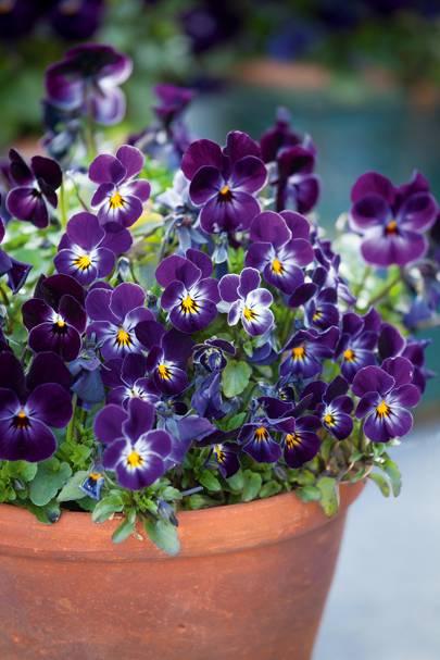 Viola cornuta 'Sorbet Phantom'
