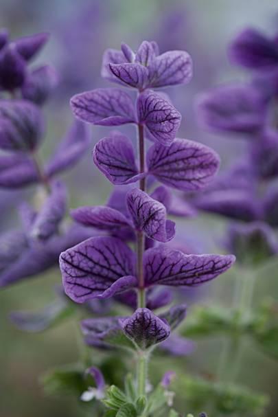 Salvia viridis 'oxford Blue' or 'Blue Monday'