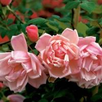 Albertine Rose