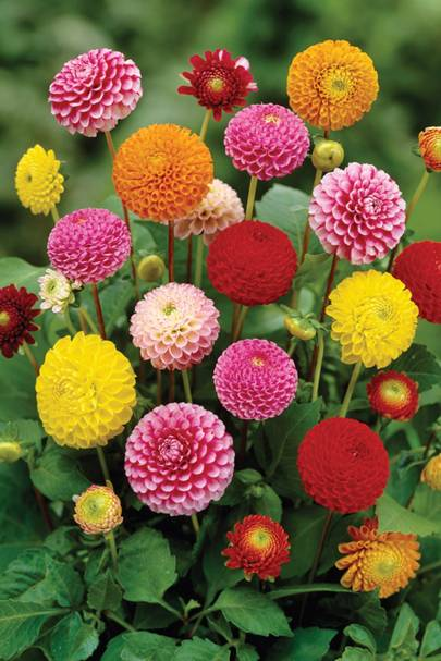 How To Plant And Grow Dahlia Tubers House Garden