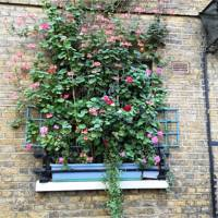 Climbing Pelargoniums and Geraniums