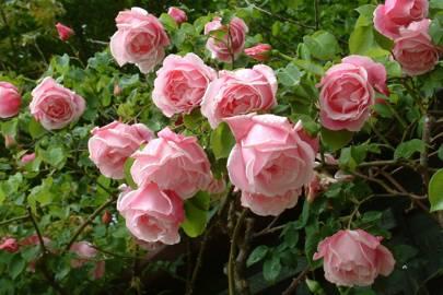 Gregoire Staechelin rose