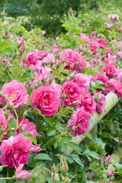 Plant a Hedge of Roses