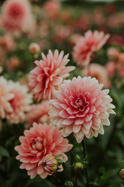 How to grow Dahlias, page 119