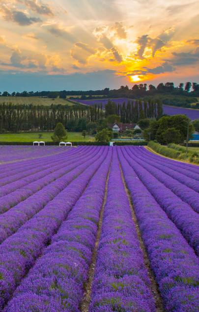 The best lavender fields to visit in the UK