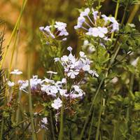 Flowers and subshrubs