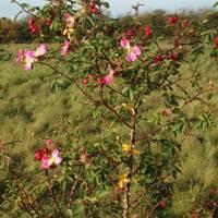 Rosa Canina Rose