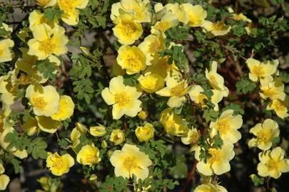 Canary Bird Rose