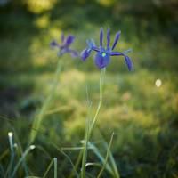 Rare irises