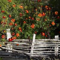 Plant a Profusion of French Marigolds