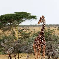 Giraffe - Segera Retreat Kenya