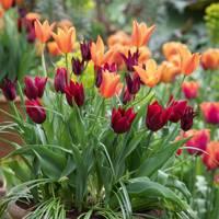 Tulips 'Sarah Raven', 'Lasting Love', and 'Ballerina'.