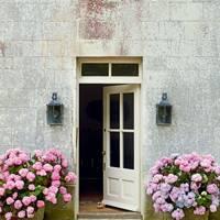 Pots of Pink Hydrangeas