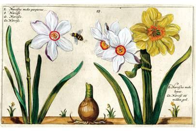 17th-century botanical drawing