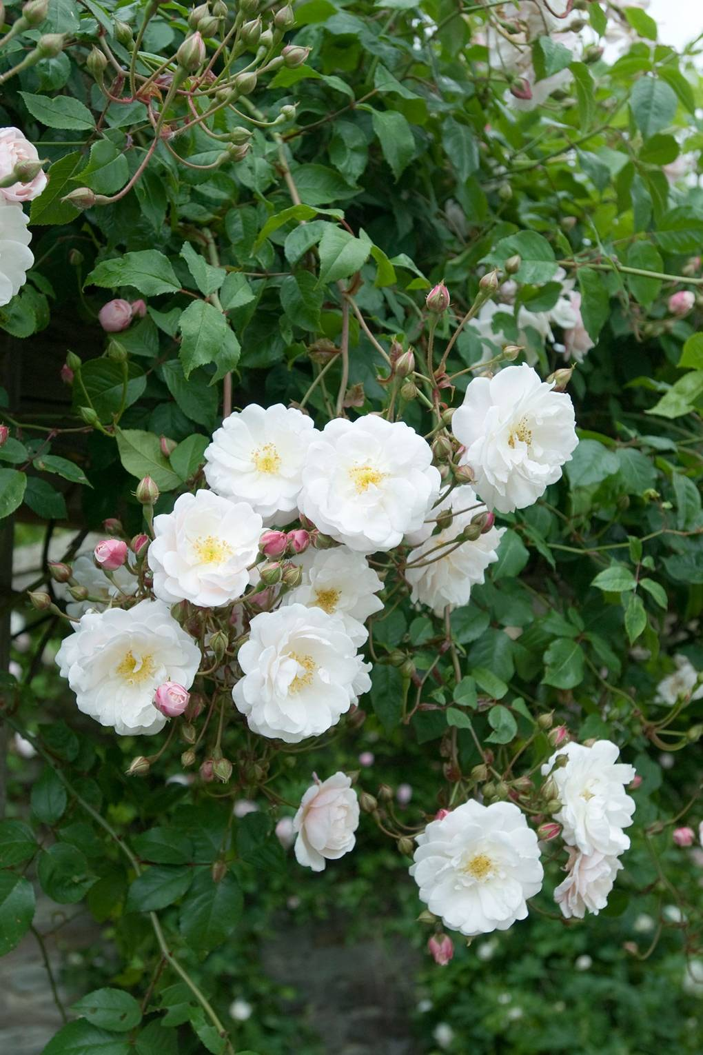 Roses Chosen By Gardeners The Best David Austin Roses And More