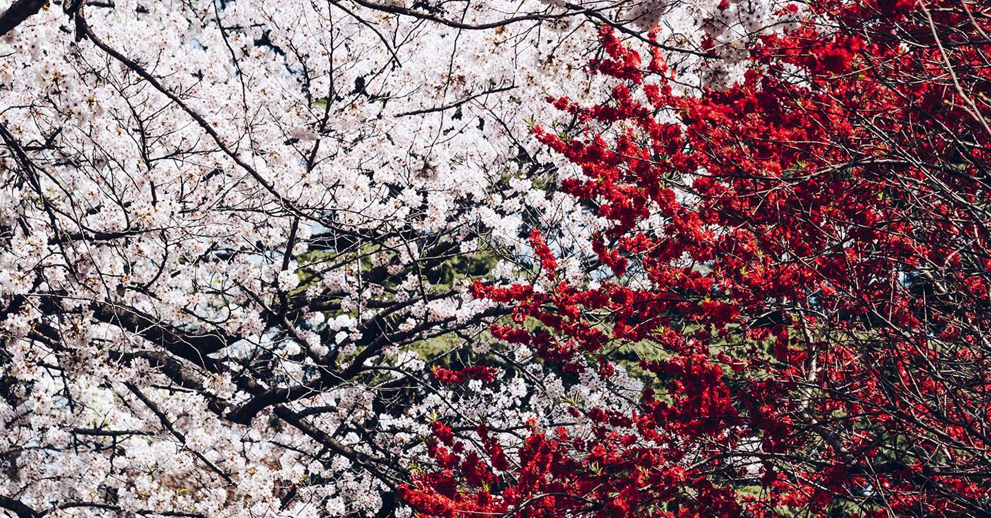 The best trees for blossom in spring