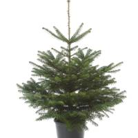 Pot-grown Nordmann Fir