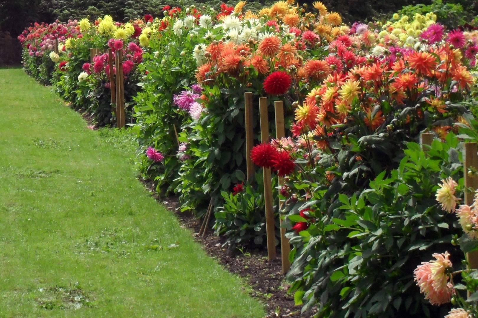 How To Grow Dahlias Garden Ideas Inspiration House Garden