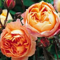 Lady Emma Hamilton rose